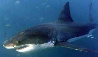 Im Mittelmeer wurde ein Weißer Hai gesichtet. (Symbolfoto) (Foto)