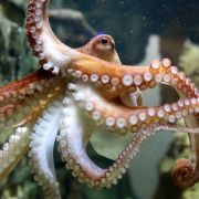 Oktopus begrapscht Knack-Po von Taucherin (Foto)