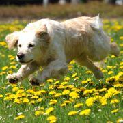 Held auf vier Pfoten! Hund rettet Frauchen auf Spaziergang das Leben (Foto)