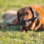 Schock! Hund beim Stöckchenspielen aufgespießt (Foto)