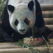 Panda-Geburtstag im Berliner Zoo.