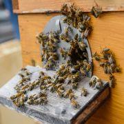 Unglaublich! 81-Jähriger überlebt 1.000 Bienenstiche (Foto)