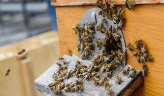 Die meisten Bienenarten sind friedlicher Natur. Werden sie provoziert, stellen sie allerdings eine größere Gefahr dar. (Symbolbild) (Foto)