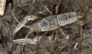 Kalikokrebse, die eigentlich in den USA beheimatet sind, bedrohen vermehrt europäische Gewässer und deren Tierwelt. (Foto)