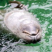 Seehunde in Wilhelmshaven werden jetzt per Drohne gefüttert.