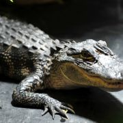 300 Krokodile brutal abgeschlachtet - aus Rache! (Foto)