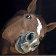 "Pferd soll Perversen zum Sex ""ermutigt"" haben (Foto)"