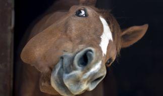 Ein Mann verging sich in Australien sexuell an einem Pferd - und behauptete, das Tier habe seine Einwilligung zum Sex gegeben (Symbolbild). (Foto)
