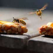 Super Wespenjahr! Insekten terrorisieren Deutschland (Foto)