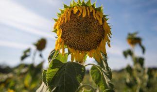 Bei Temperaturen über 30 Grad lassen nicht nur die Pflanzen die Köpfe hängen. (Foto)
