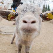 Widerlich!Ziege stirbt nach Gruppenvergewaltigung (Foto)
