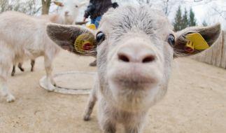 In Indien starb eine Ziege, nachdem sie von mehreren Männern vergewaltigt wurde (Symbolbild). (Foto)