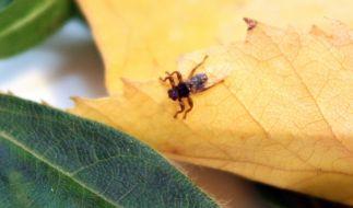 Eine Hirschlausfliege sitzt auf einem Blatt. Nicht nur Zecken machen Waldspaziergängern zu schaffen. (Foto)