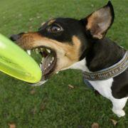 2-Jährige von Jack-Russell-Terrier blutig gebissen - Klinik! (Foto)