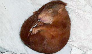 Dieses Eichhörnchen jagte einen Mann durch Karlsruhe! (Foto)