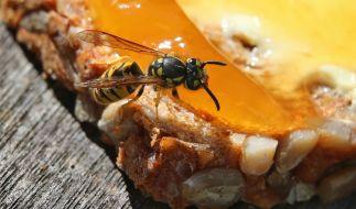 Wespen sind in diesem Jahr eine echte Plage. (Foto)