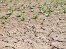 Tiefe Risse ziehen sich durch das ausgetrocknete Erdreich eines Feldes in Filderstadt (Baden-Württemberg), auf dem im Hintergrund Salatpflanzen stehen. (Foto)