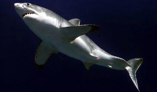 Ein Weißer Hai schwimmt im Monterey Bay Aquarium in San Francisco (Symbolbild). (Foto)