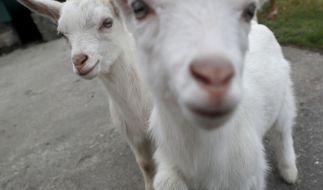 Das Trio soll sich unter anderem auch an Ziegen vergangen haben (Symbolbild). (Foto)