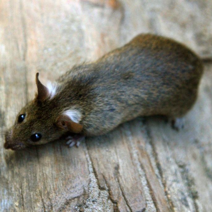 Wegen Mega-Hitze! Ratten-Plage in DIESEN Städten (Foto)