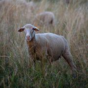 Blutleer! Wurden DIESE 8 Schafe von Vampiren ausgesaugt? (Foto)