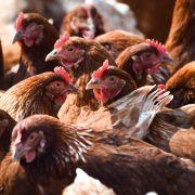 Geflügelpest auf Geflügelhof in Wismar ausgebrochen! (Foto)