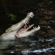 Krokodil tötet Mutter und Baby (Foto)