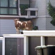 InMaichingen bei Sindelfingen besteigt eine Kuh ein Garagendach!