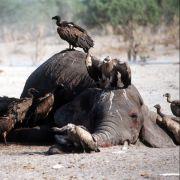 Grausam! Wilderer schlachten 87 Elefanten ab (Foto)
