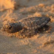Verendete Schildkröte in Vagina von 26-Jähriger gefunden (Foto)