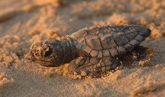 Eine tote Baby-Schildkröte wurde in der Vagina einer Frau gefunden. (Foto)