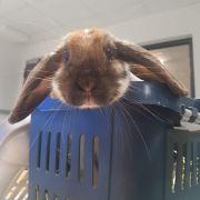 Ein Kaninchen war alleinreisend am Freitagmorgen im Regionalexpress RE2 von Düsseldorf nach Essen gefahren. Das Nagetier saß laut Polizei mit einem Vorrat an Möhren versorgt in einer Transportbox - vom Halter jedoch keine Spur.