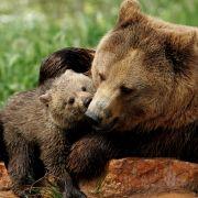 Dramatischer Angriff! Teenager von Bären zerfleischt (Foto)