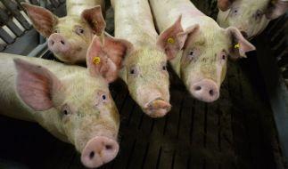 Ein Schweinderl aus Cölbe floh vor dem Schlachter und stoppte damit ein Golfturnier. (Foto)