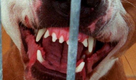 In Schottland wurde ein Mann von einem Kampfhund kastriert. (Symbolbild)