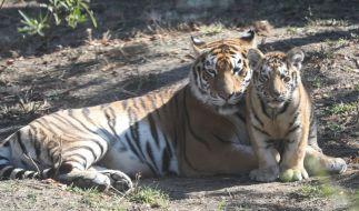 Im Tierpark Köthen kam es zu einem folgenschweren Angriff durch einen Tiger (Symbolbild). (Foto)