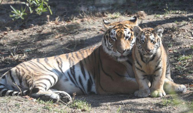Im Tierpark Köthen kam es zu einem folgenschweren Angriff durch einen Tiger (Symbolbild).