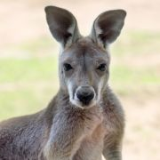 Aggro-Känguru schlägt Frau krankenhausreif! (Foto)
