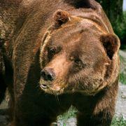 Glück gehabt! SO überlebte ein Jäger einen Bärenangriff (Foto)
