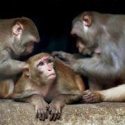Mann (72) von Affen zu Tode gesteinigt (Foto)