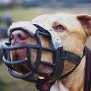 Kampfhund verbeißt sich in Fußgänger - niedergeschossen! (Foto)