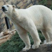 Eisbär-Sex bringt Mann in den Knast (Foto)