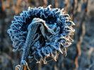 Raureif auf einer vertrockneten Sonnenblume: Am letzten Oktober-Wochenende wird der erste Wintereinbruch erwartet. (Foto)