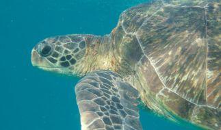 Für die seltene grüne Meeresschildkröte war East Island ein wichtiger Nistplatz. (Foto)