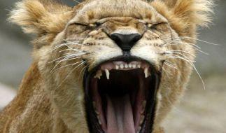 In einem russischen Zoo hat eine Löwin ein kleines Mädchen angegriffen. (Foto)