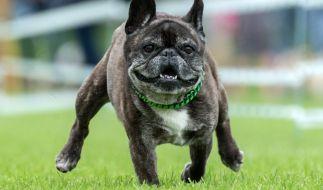 In Schottland hat eine Bulldogge einen 22-Jährigen mit Bissen kastriert - allerdings scheint das Opfer die Tat provoziert zu haben (Symbolbild). (Foto)