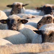 Mann hat Sex mit Schaf – Notschlachtung! (Foto)