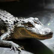 Einbruch in Alligatoren-Farm! Mann badet mit Krokodilen (Foto)