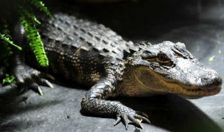 Ein Mann brach in eine Alligatoren-Farm ein und badete mit Krokodilen. (Foto)