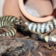 Schlange beißt Mann auf der Toilette in die Hosenschlange (Foto)